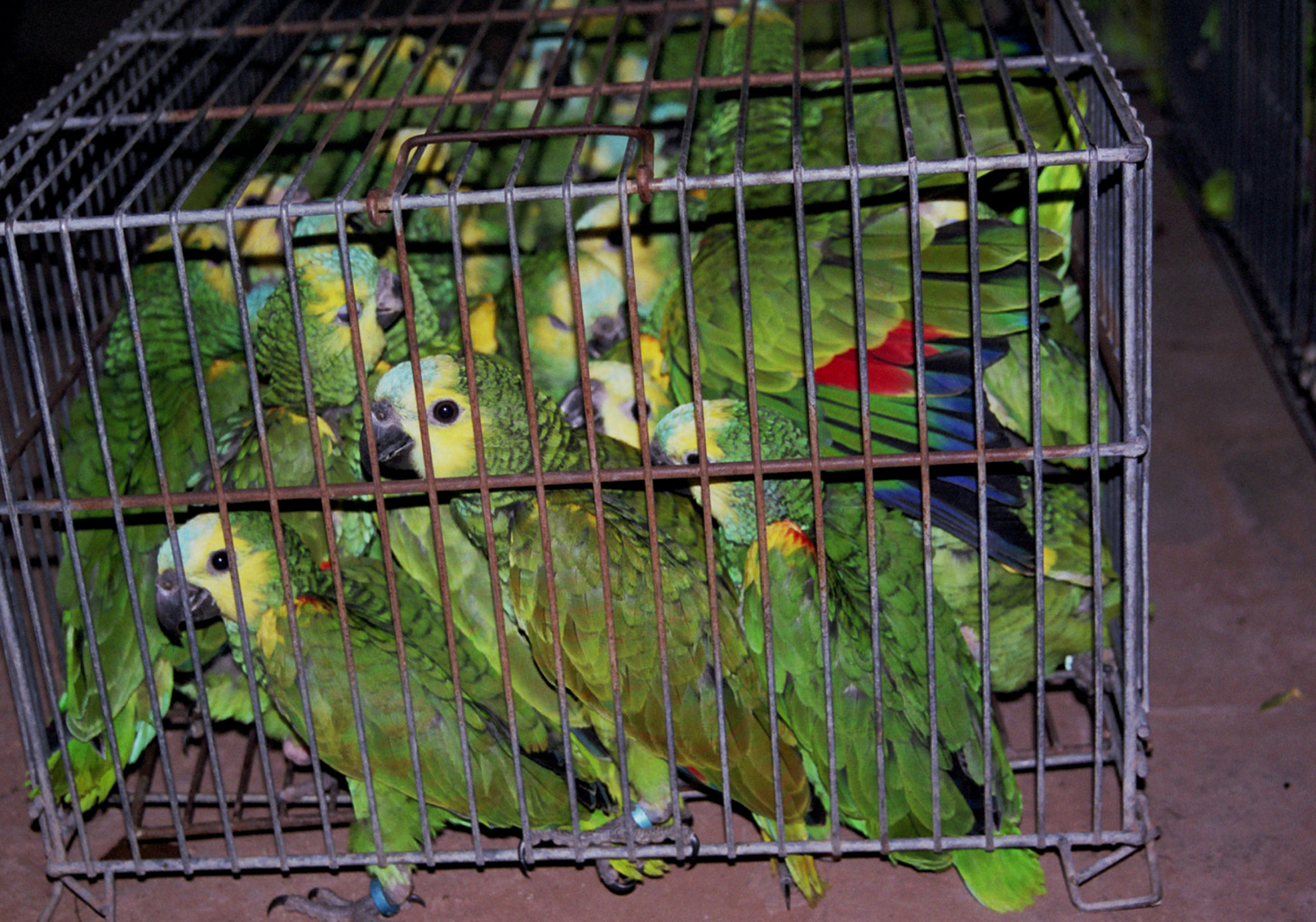 http://www.parrots.org/flyfree/images/mediaphotos/ArgTrap5H.jpg