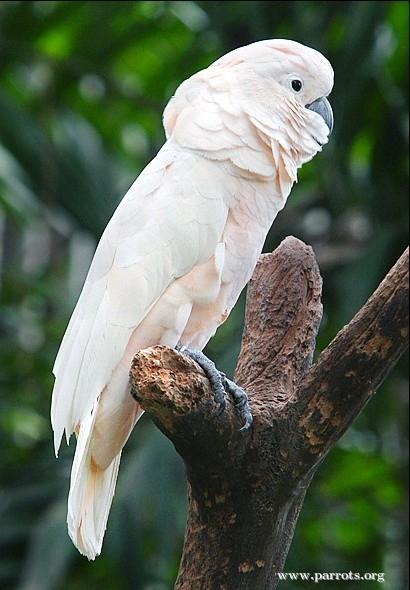 Moluccan Cockatoo World Parrot Trust