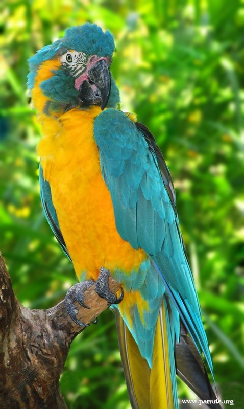 Blue Throated Macaw Project World Parrot Trust
