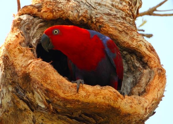 Parrot Encyclopedia Eclectus Parrot World Parrot Trust