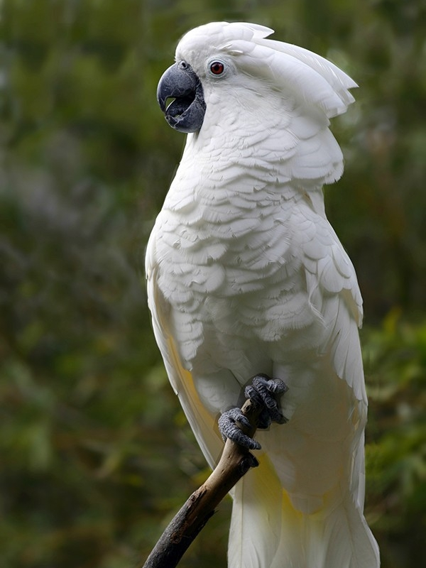 Parrot Encyclopedia White Crested Cockatoo World