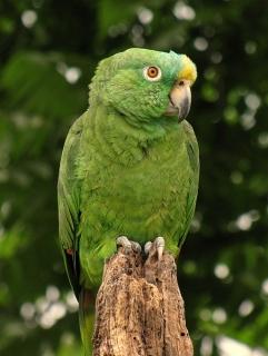 Yellow Crowned Amazon Amazona Ochrocephala Parrot