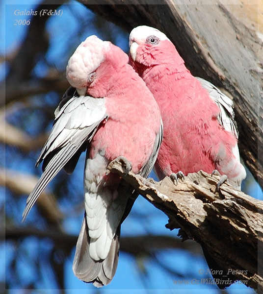 teen-male-and-female-pink-cockatoos-girls-the