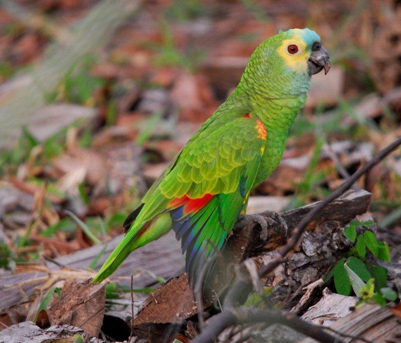 Blue Fronted Fig Parrot 12