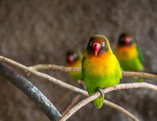 Black-cheeked Lovebird | World Parrot Trust