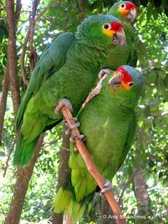 Red Lored Amazon Amazona Autumnalis Parrot Encyclopedia