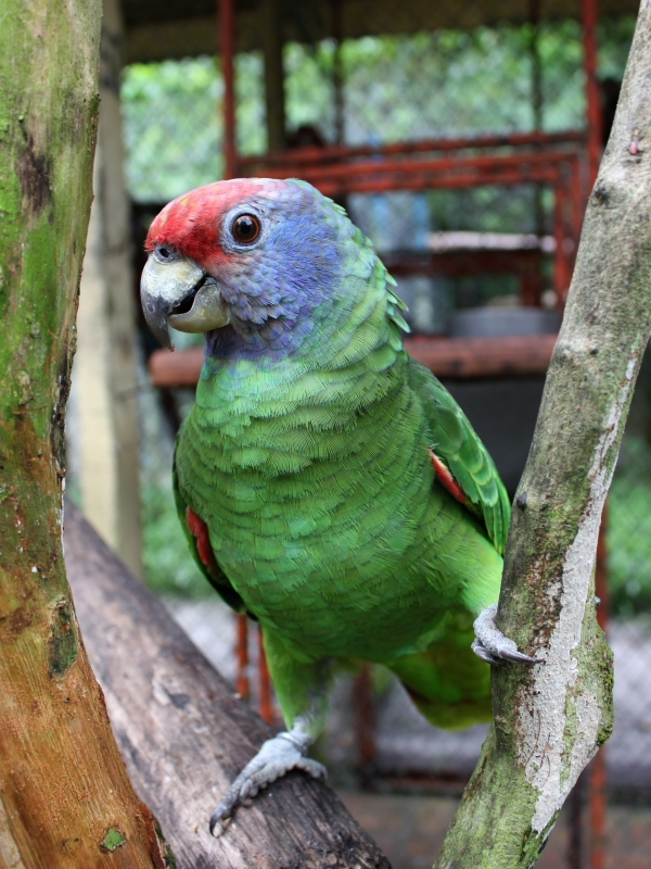 Red Tailed Amazon World Parrot Trust