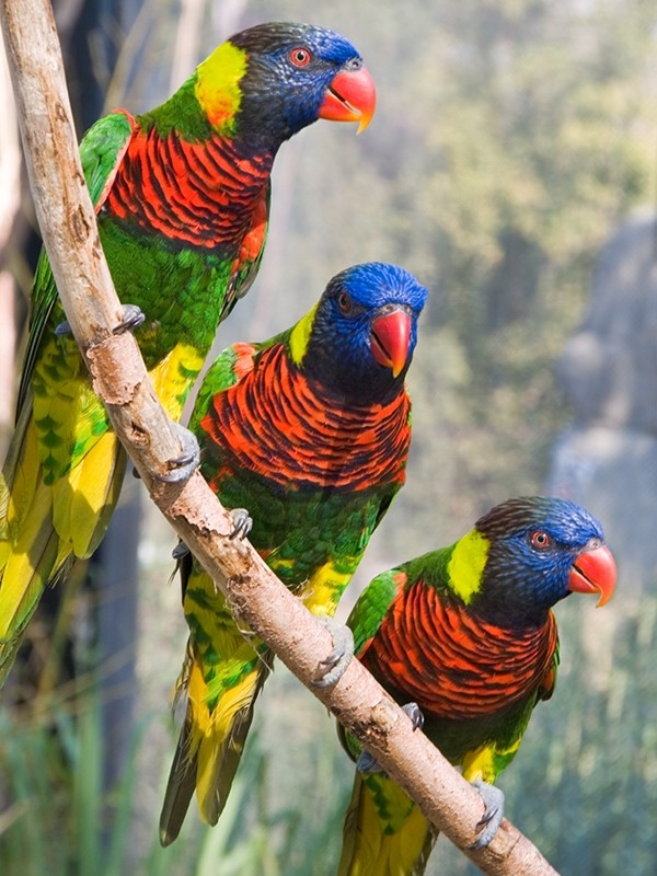Parrot Encyclopedia Coconut Lorikeet World Parrot Trust