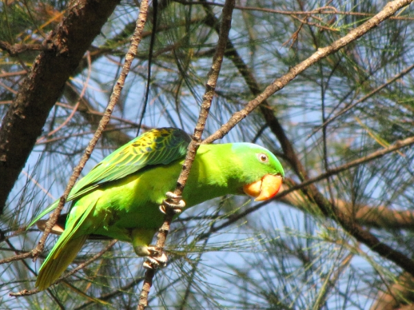 how to train blue naped parrot