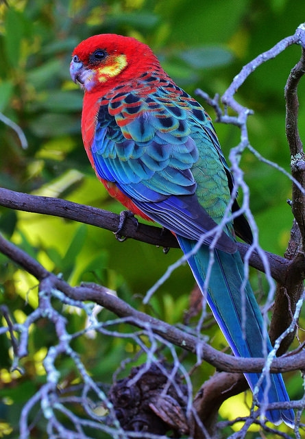 Parrot Encyclopedia Western Rosella World Parrot Trust