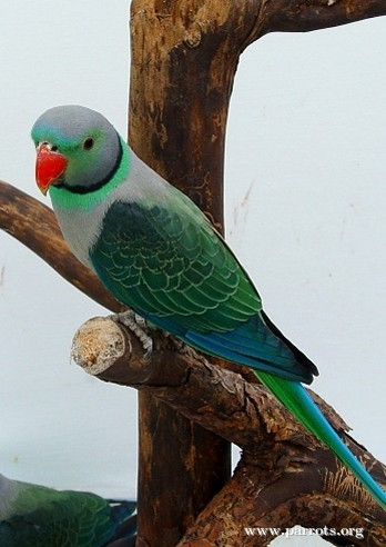Parrot Encyclopedia Malabar Parakeet World Parrot Trust