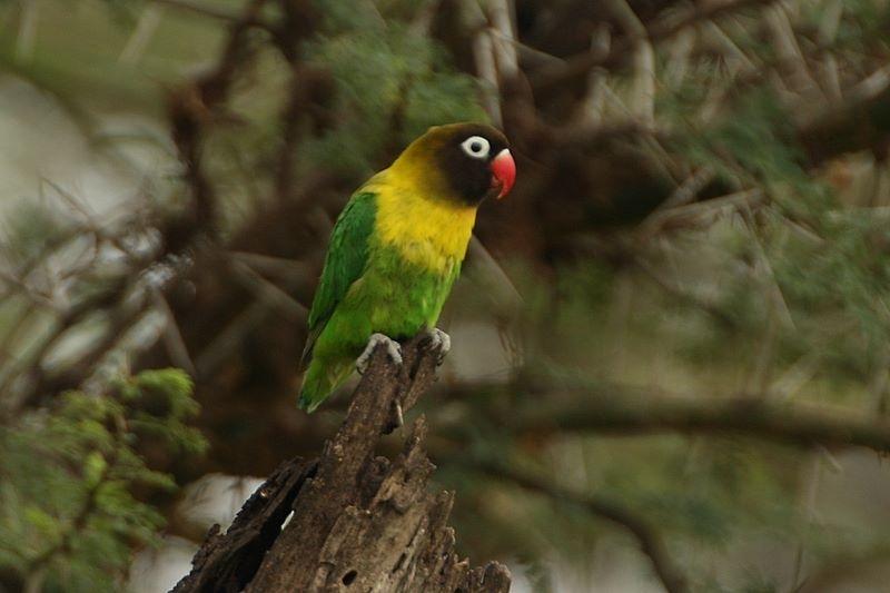 Parrot Encyclopedia Masked Lovebird World Parrot Trust
