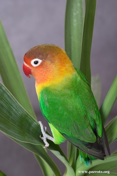 Parrot Encyclopedia Fischer S Lovebird World Parrot Trust