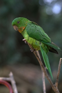 Red Throat Conure 35