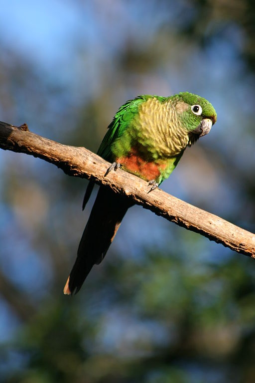 Parrot Encyclopedia Maroon Bellied Conure World Parrot