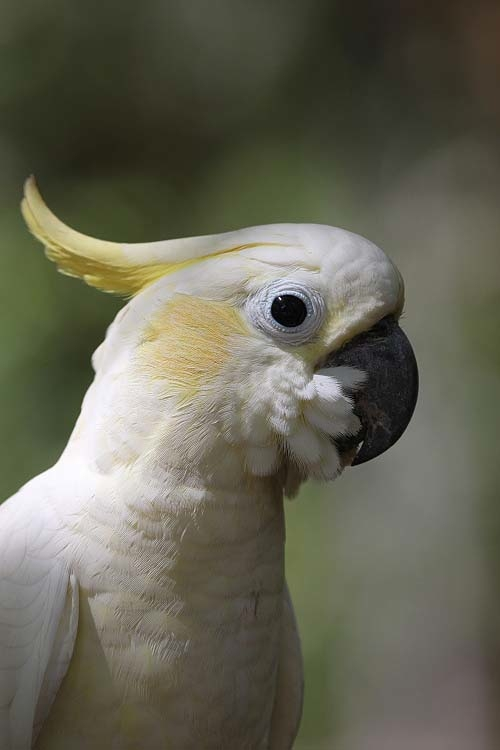 Yellow Crested Cockatoo World Parrot Trust