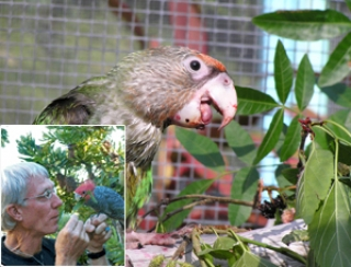 Incorporating Wild and Natural Foods into Companion Parrot Diets