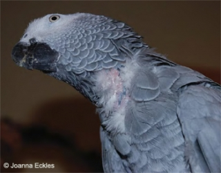 Feather Destructive Behaviour in Companion Parrots