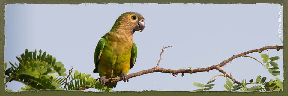 Brown-throated Conure (c) Steve Brookes via WildParrotsUpClose