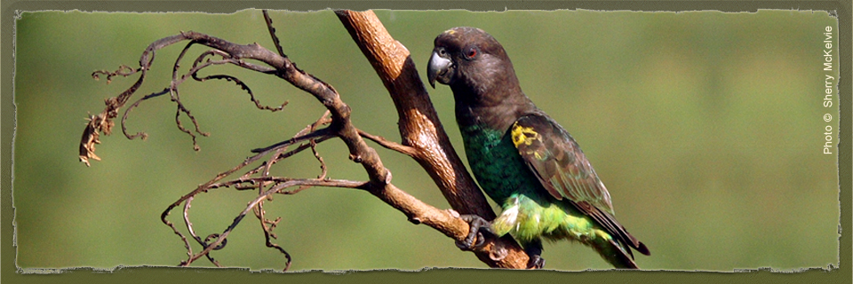 Brown Parrot (c) Sherry McKelvie