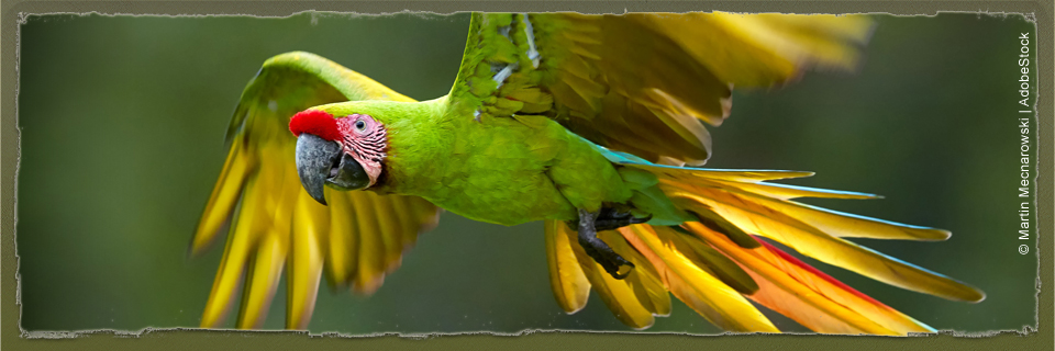 Great Green Macaw (c) Martin Mecnarowski via AdobeStock