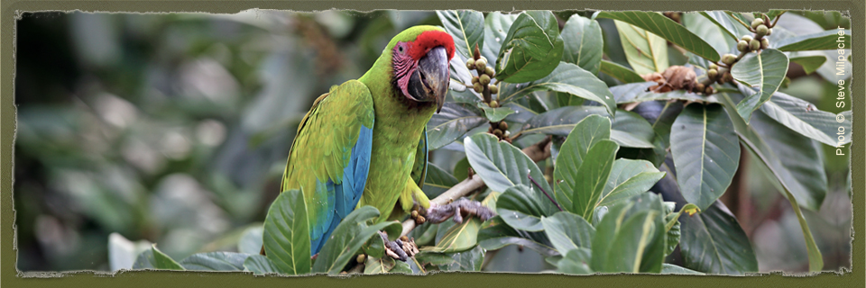 Great Green Macaw (c) Steve Milpacher