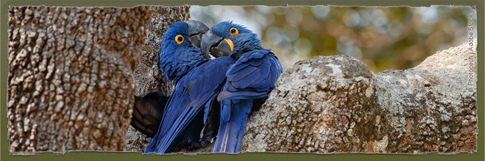 Hyacinth Macaw (c) photocech | Adobe Stock