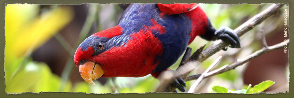 Red-and-blue Lory (c) Mehd Halaouate