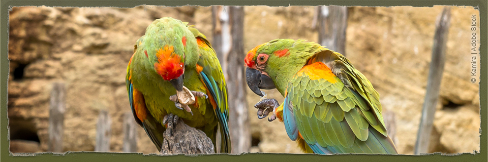 Red-fronted Macaw (c) Kamir | Adobe Stock