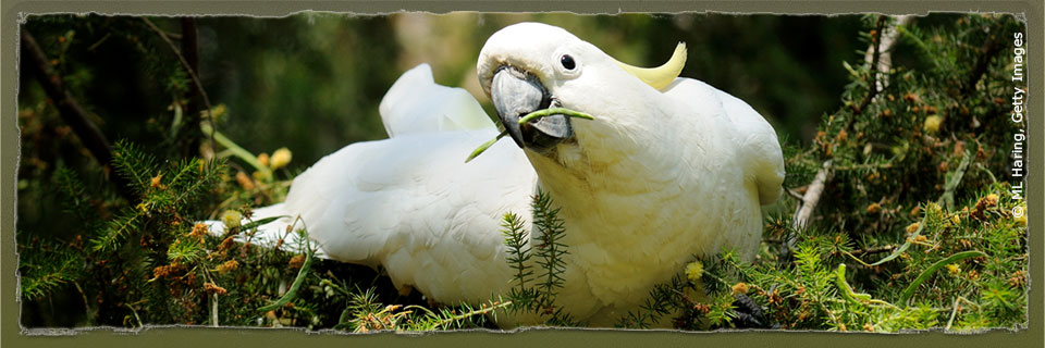 Sulphur-crested Cockatoo (c) ML Haring via Getty Images