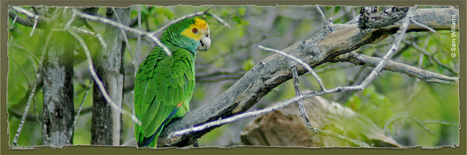 Yellow-shouldered Amazon (c) Sam Williams