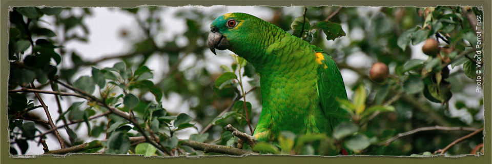 Blue-fronted Amazon (c) World Parrot Trust