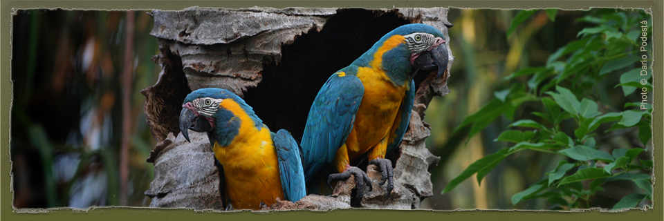 Blue-throated Macaw (c) Dario Podesta