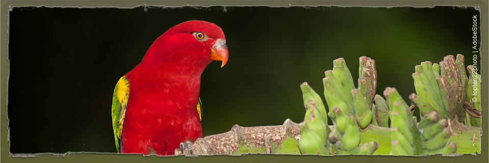 Chattering Lory (c) topten22photo | AdobeStock