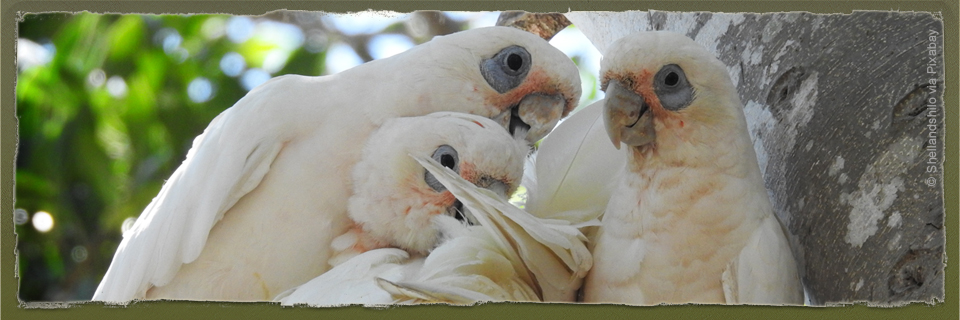 Cockatoo Family (c) Shellandshilo aia Pixabay