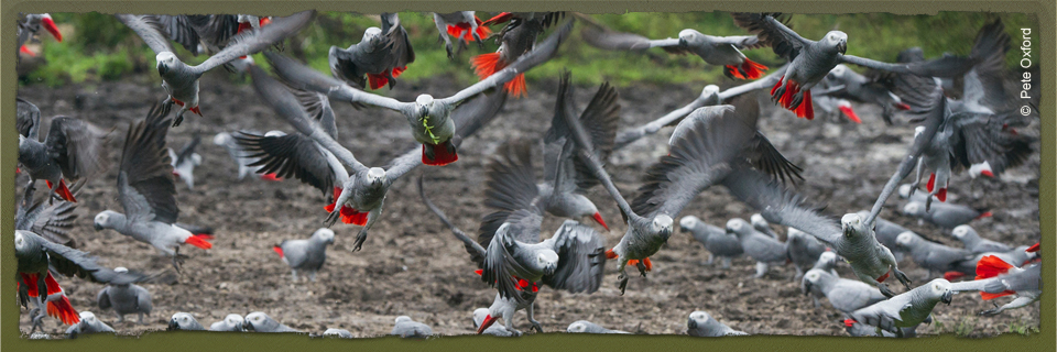 Grey Parrots (c) Pete Oxford