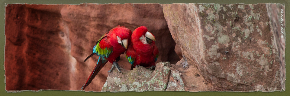 Red-and-green Macaw (c) Scott Anagnoste