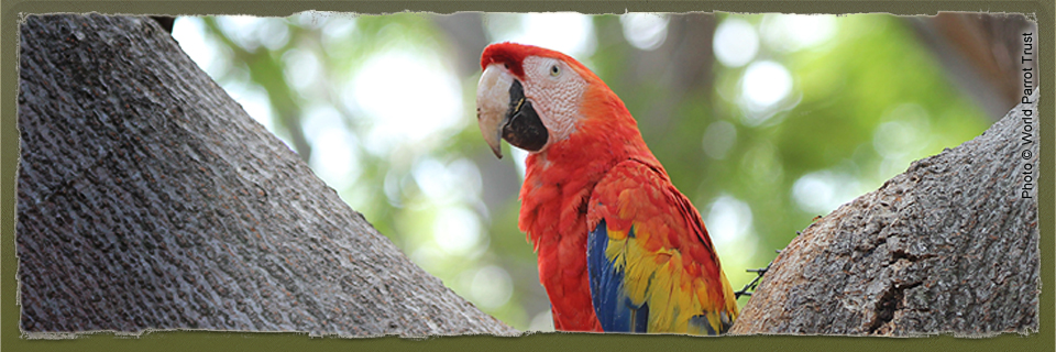 Scarlet Macaw (c) World Parrot Trust