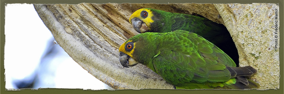 Yellow-fronted Parrot (c) Frédéric Maillot
