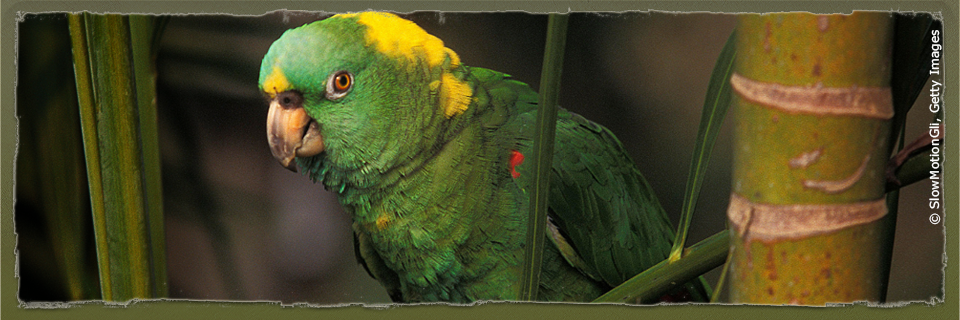 Yellow-naped Amazon (c) SlowMotionGli via Getty Images