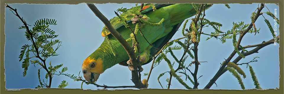 Yellow-shouldered Amazon (c) Echo Bonaire