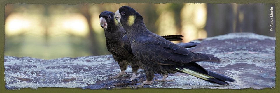 Yellow-tailed Black Cockatoo (c) Steve Martin