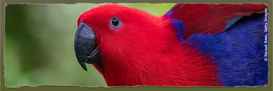 Papuan Eclectus (c) Nauzet Baez via Getty Images