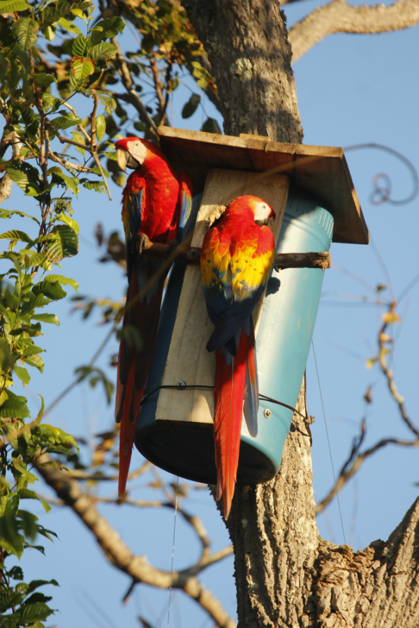 macaws on nestbox