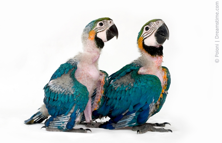 Near fledgling Blue and Yellow Macaws