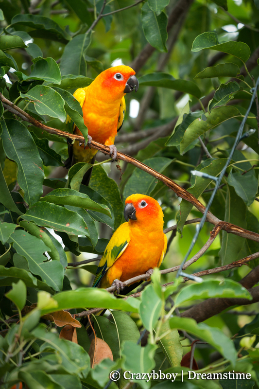 Sun Conures in aviary setting