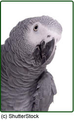 Closeup of African Grey