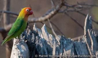Lilian's Lovebird (c) Marcel Holyoak
