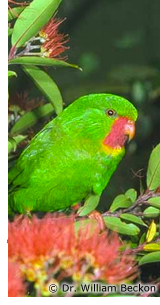 Red-throated Lorikeet
