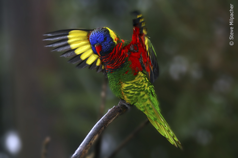 Rainbow Lorikeet displaying